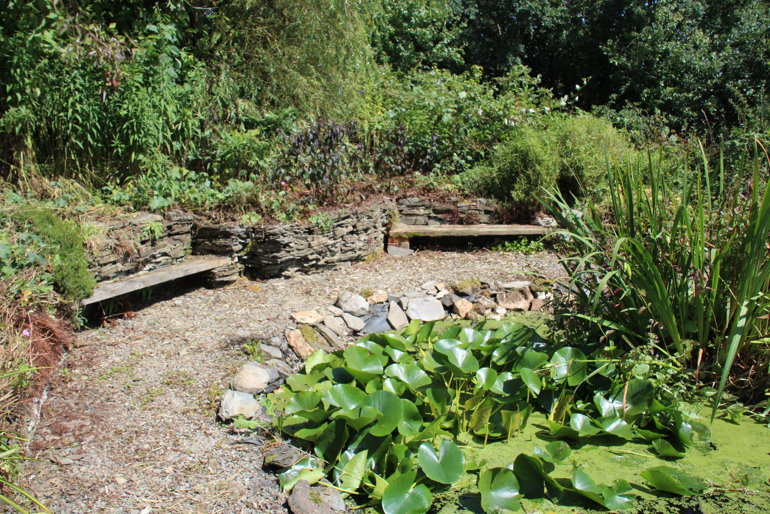 A path surrounding a pond with lots of lillies in it